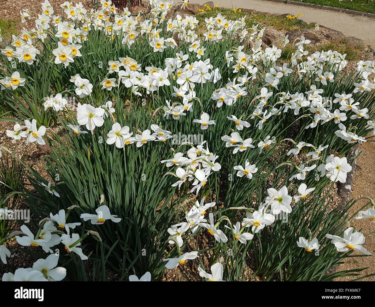 Ist eine Heilpflanze und Arzneipflanze, Wildpflanze, Bume und Duftblume Stock Photo