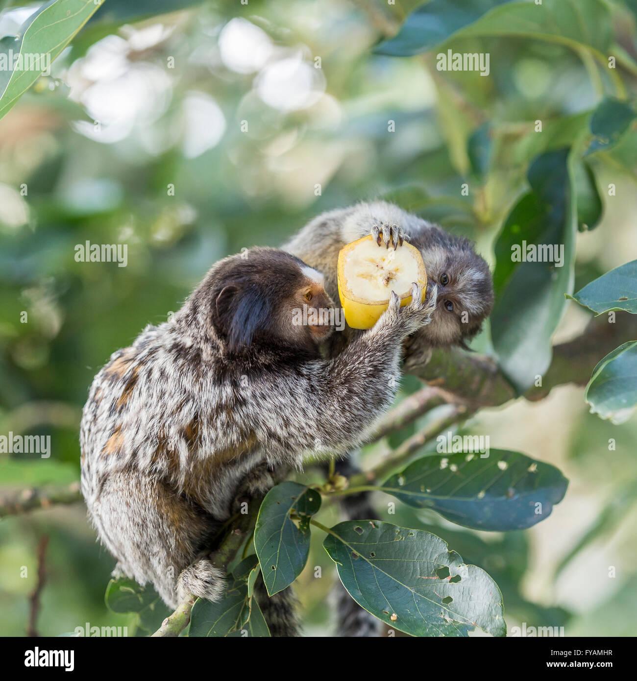 Mom And Puppy Marmoset Monkeys Eating Banana Stock Photo 102883251