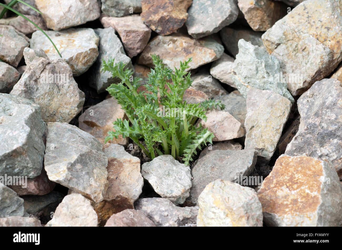 Silberdistel; Carlina; acaulis; Keimling, Sproessling, Sprosse, Jungpflanze, Aufzucht, jung, gruen; Blatt; Pflanze, - Stock Image