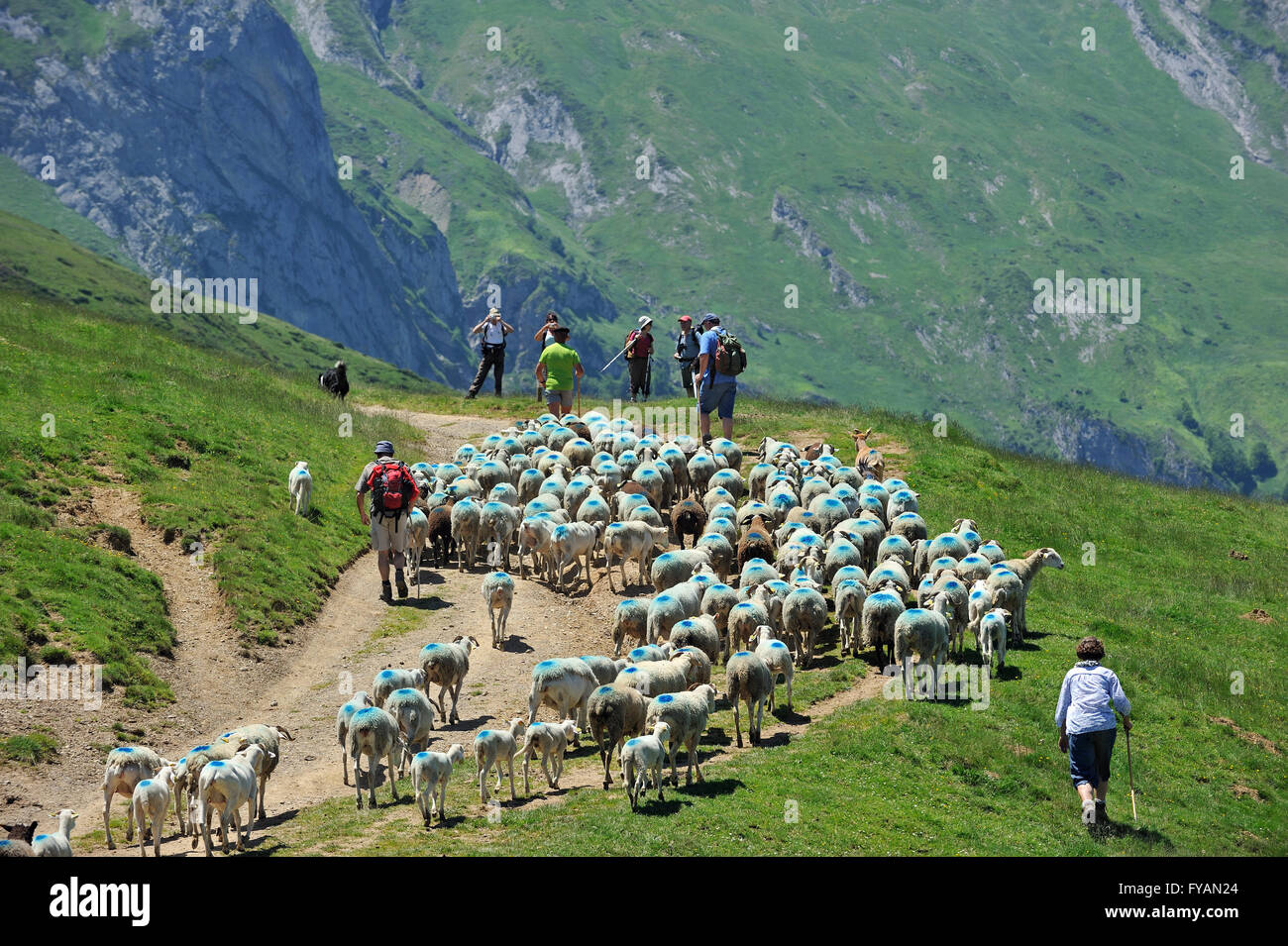 Shepherd and tourists herding flock of sheep to pasture up in the mountains along the Col du Soulor, Hautes Pyrénées, - Stock Image