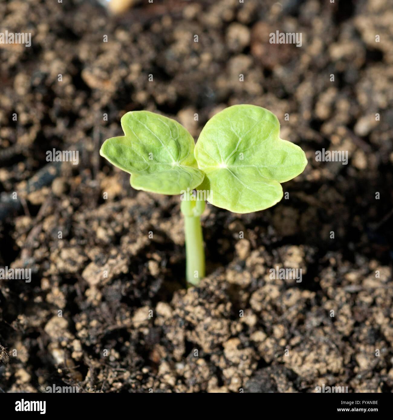 Kapuzinerkresse; Ist eine Heilpflanze und Arzneipflanze, Wildpflanze, Bume und Duftblume Stock Photo