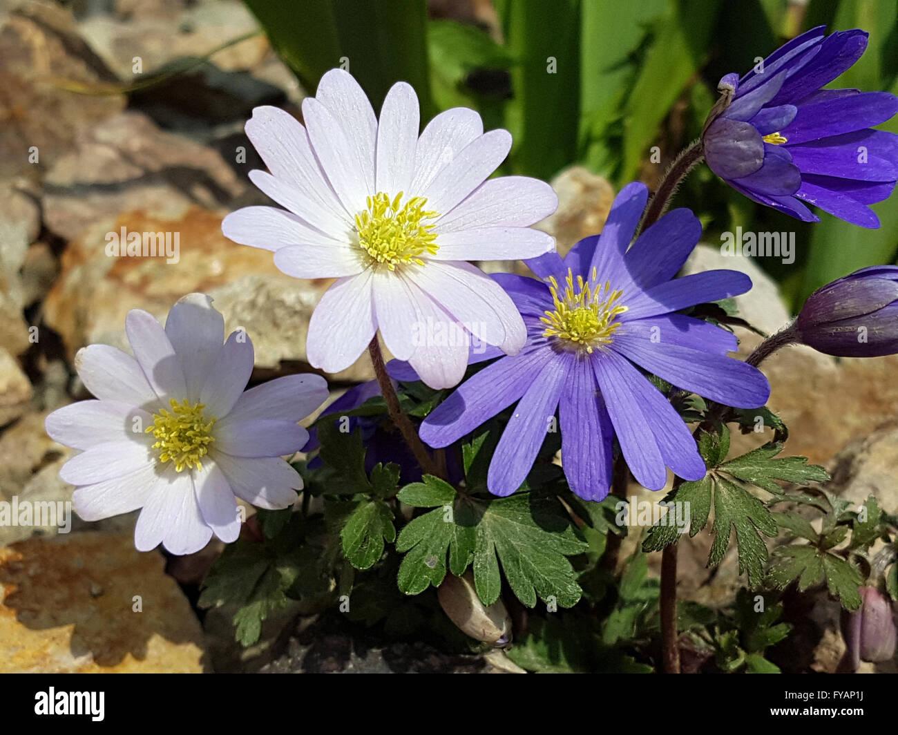 Strahlenanemone ist eine Blume im Fruehjahr - Stock Image