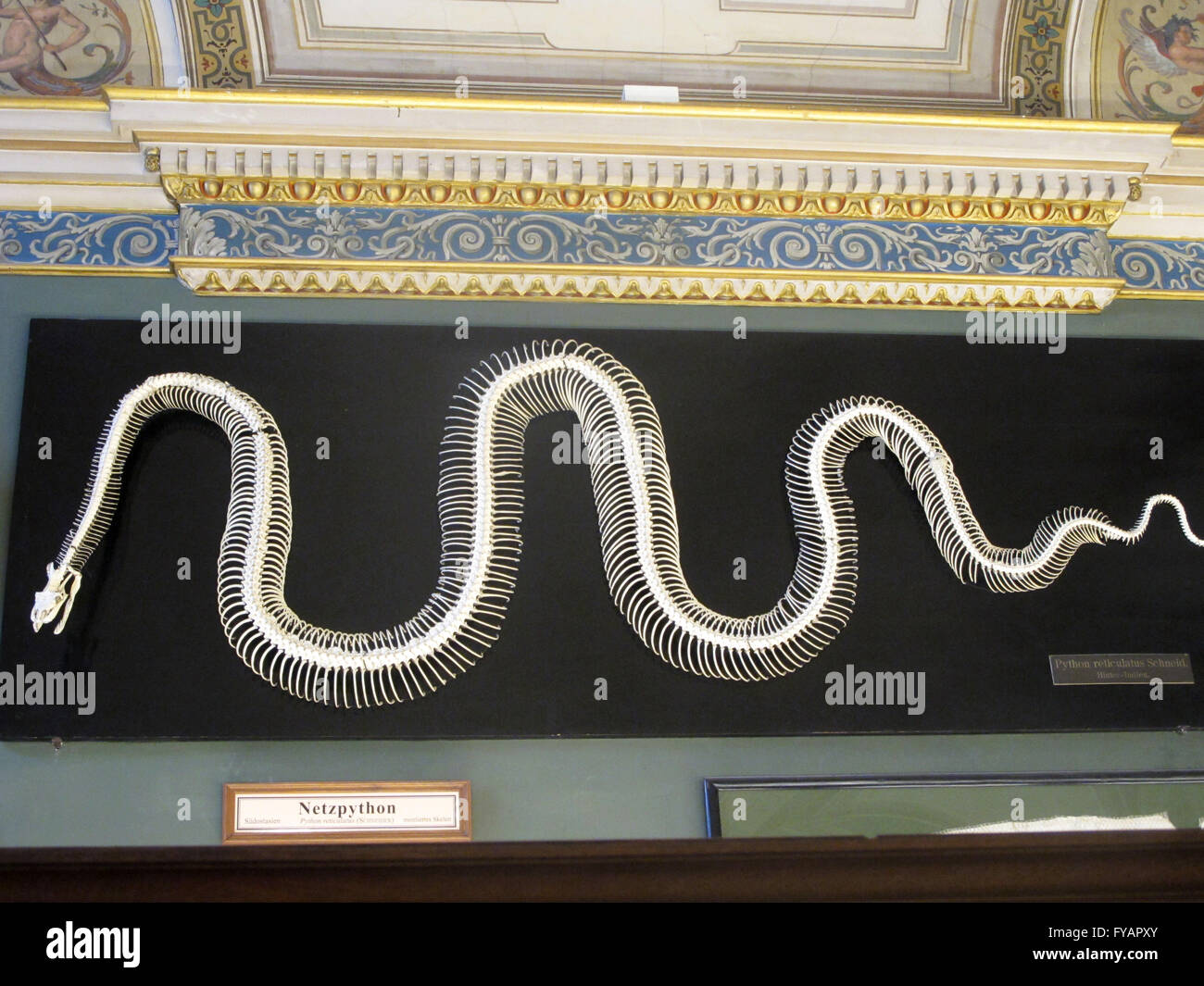 Tempat Jual Peython Large Pw Update 2018 Loop Ramadhan Lazypod Jepsis For Smartphone Python Snake Stock Photos Images Skeleton On Display At Museum Of Natural History