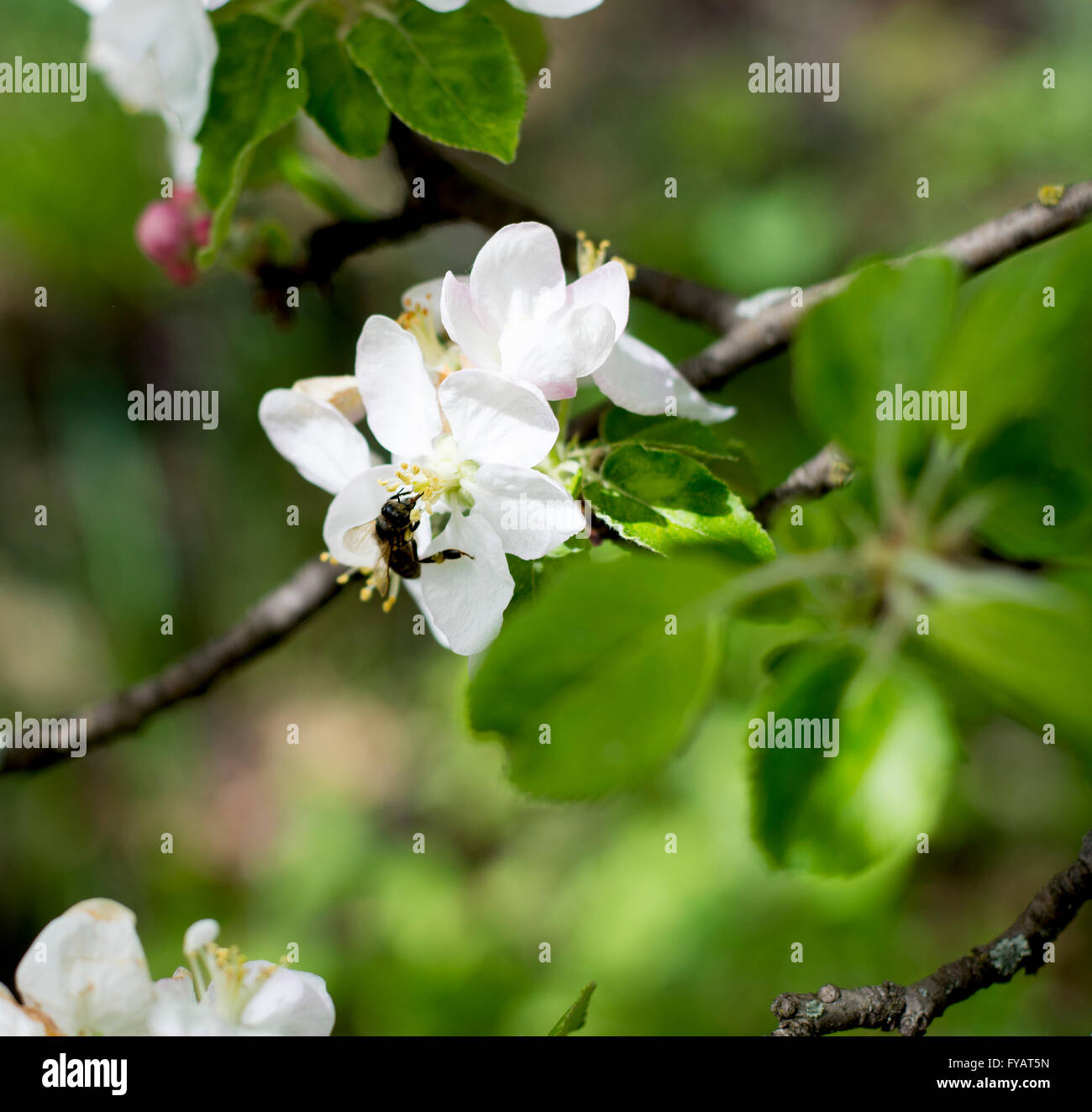 the blossoming apple-tree, bee collects nectar - Stock Image