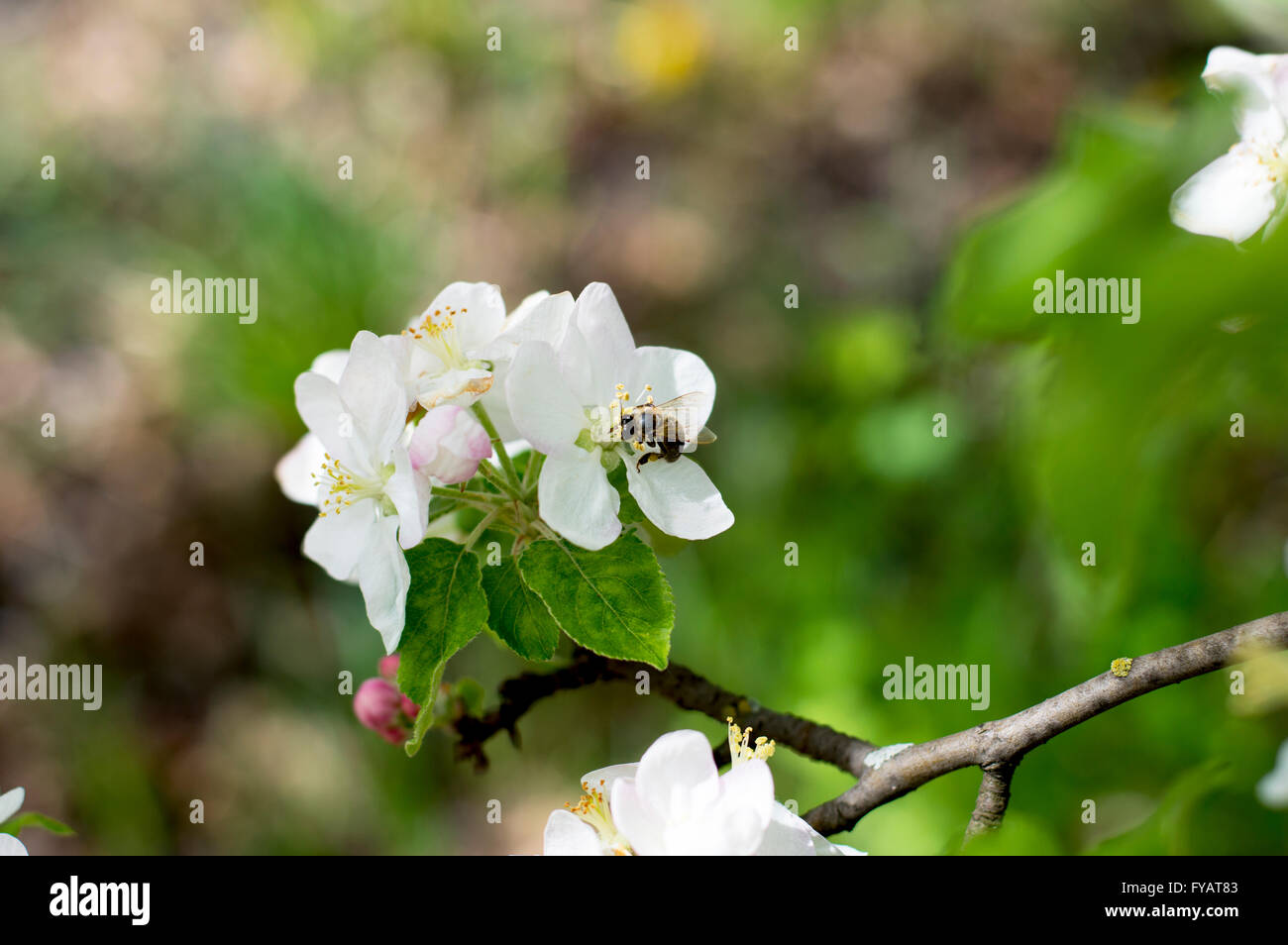 the bee collects nectar on flowers of an apple-tree - Stock Image