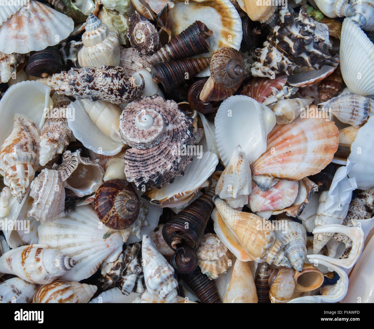 Sea Shells tightly grouped together - Stock Image