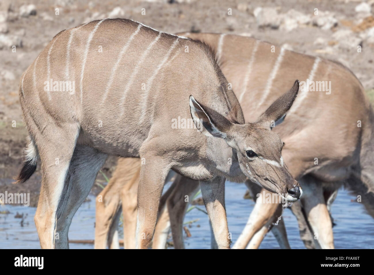 Kudu herd watering hole Etosha National Park Namibia Stock Photo