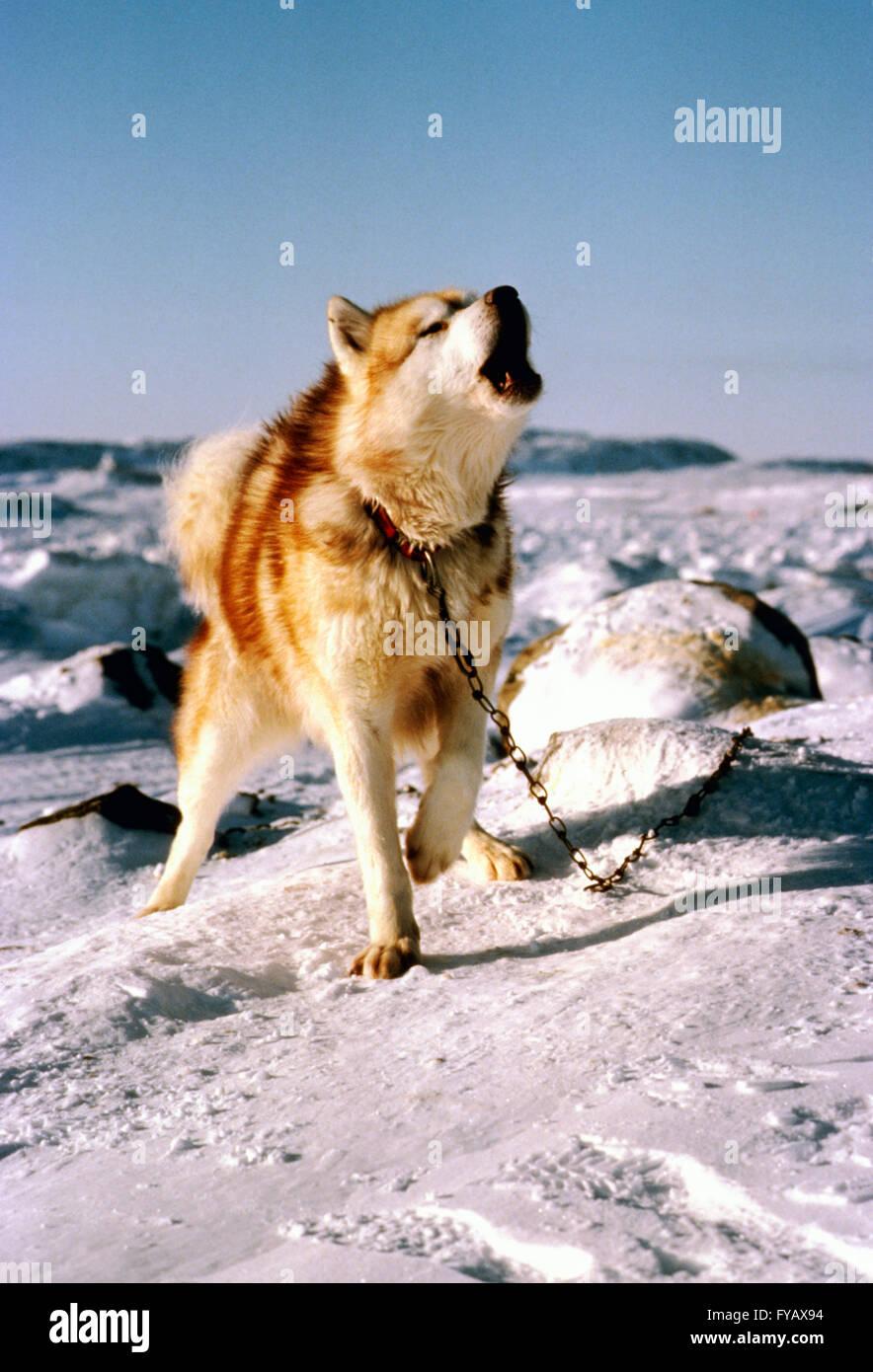 Howling Canadian Inuit (Eskimo) Sled Dog - Stock Image