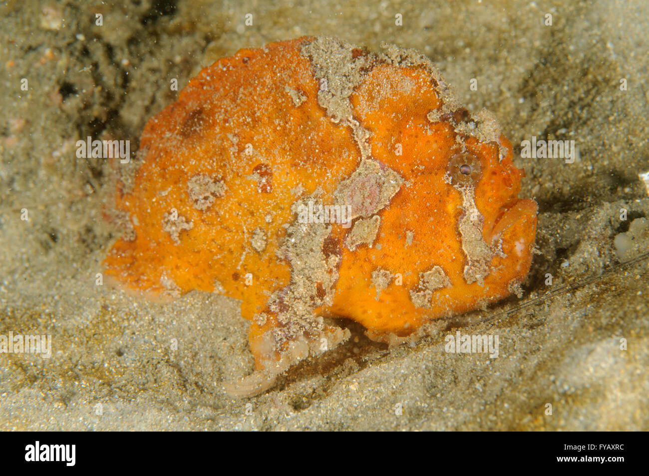 Freckled anglerfish, Antennatus coccineus, at Chowder Bay, Clifton Gardens, New South Wales, Australia. Depth: 3.8 - Stock Image