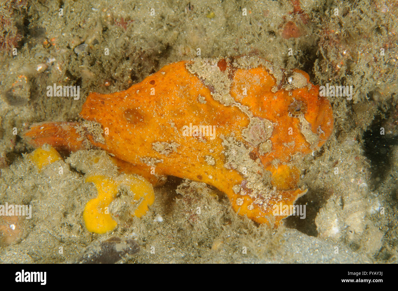 Freckled anglerfish, Antennatus coccineus, at Chowder Bay, Clifton Gardens, New South Wales, Australia. Depth: 3.9 - Stock Image