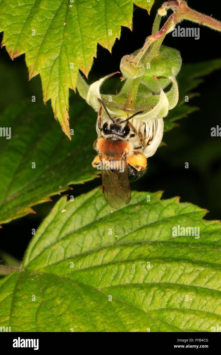 Wild bee (Osmia bicornis L. or Osmia rufa) on the blossom of raspberry (Rubus idaeus). At the abdomen they have - Stock Image