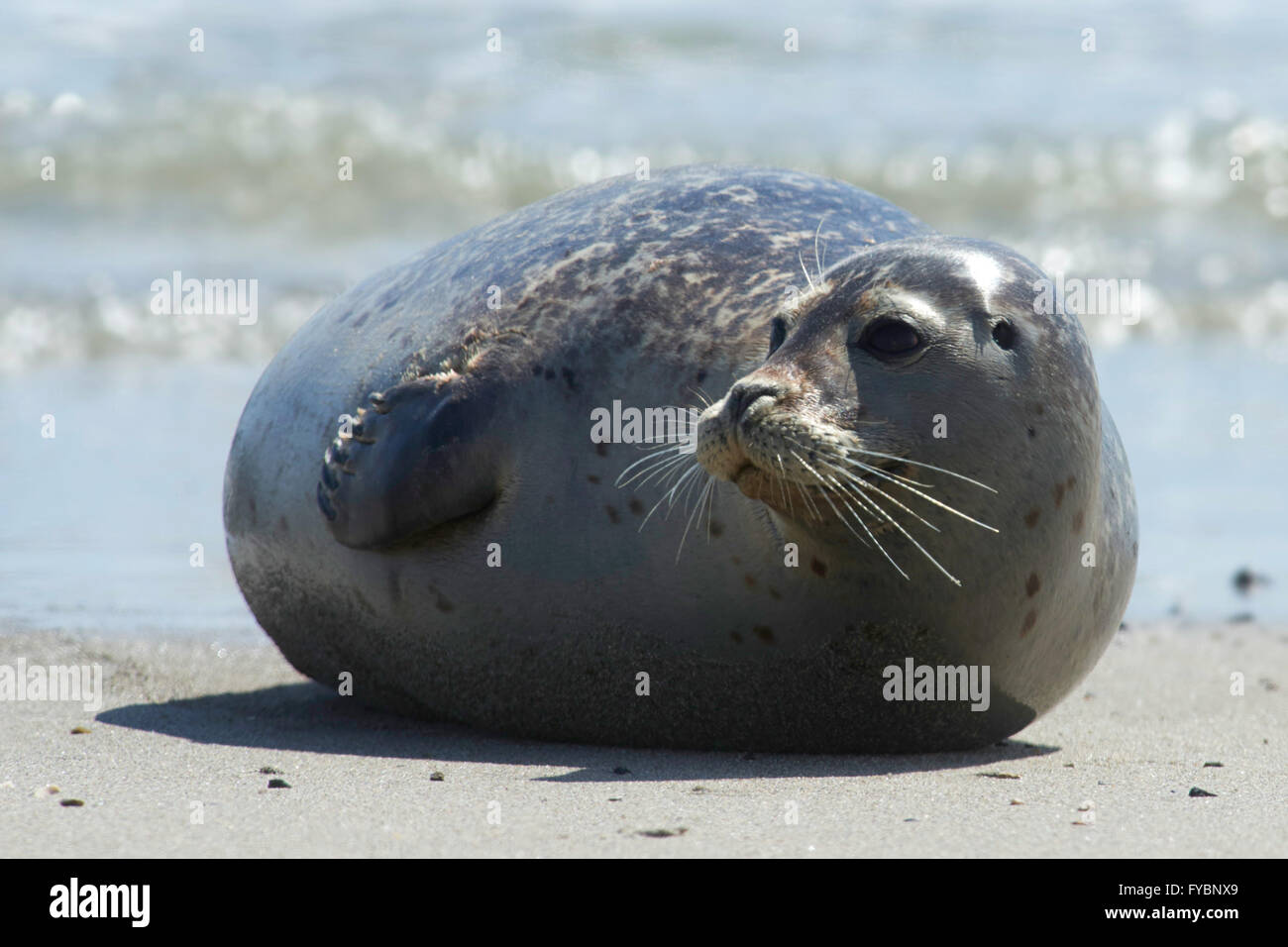 Close up of gray seal (Halichoerus grypus) at the beach at Dune, Helgoland, Germany Stock Photo