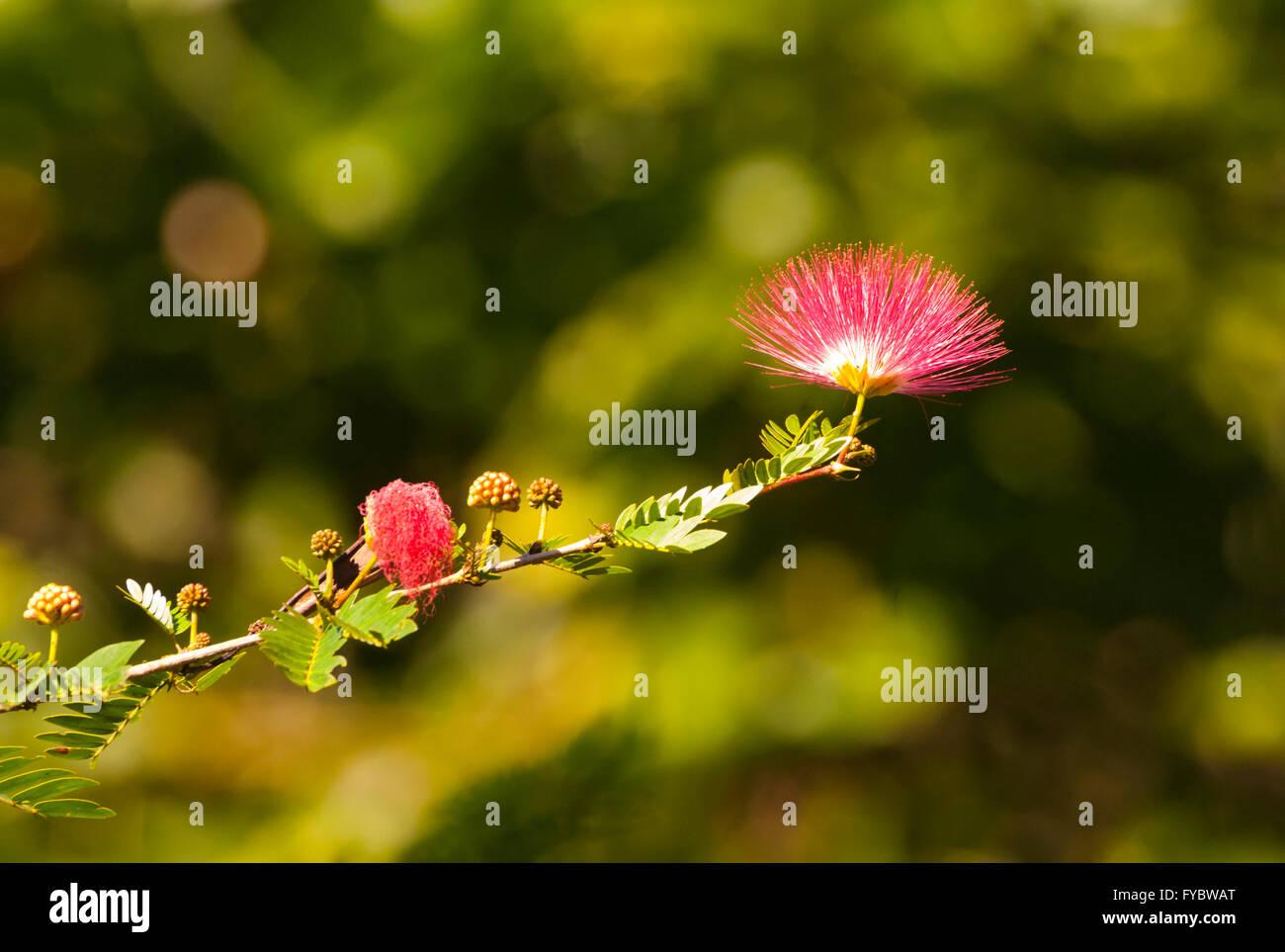 Myrtaceae flower, Far North Queensland, FNQ, QLD, Australia - Stock Image