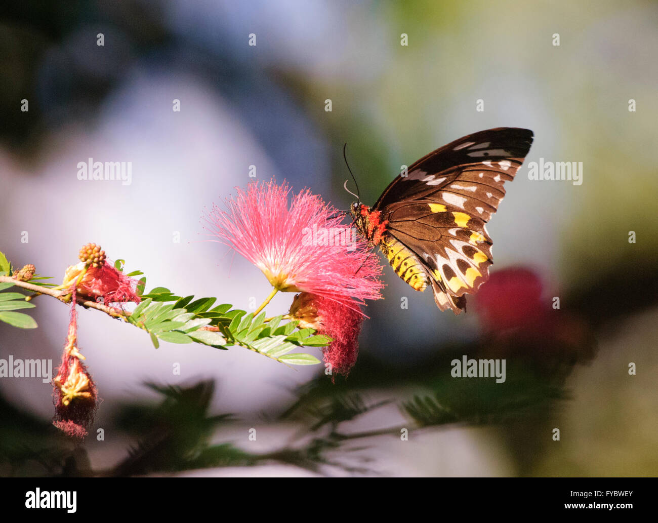 Butterfly pollinating a Myrtaceae flower, Northern Queensland, Australia - Stock Image