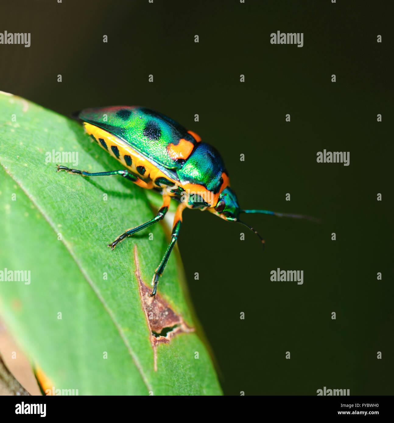 Green Jewel Bug (Lampromicra senator), New South Wales, Australia - Stock Image