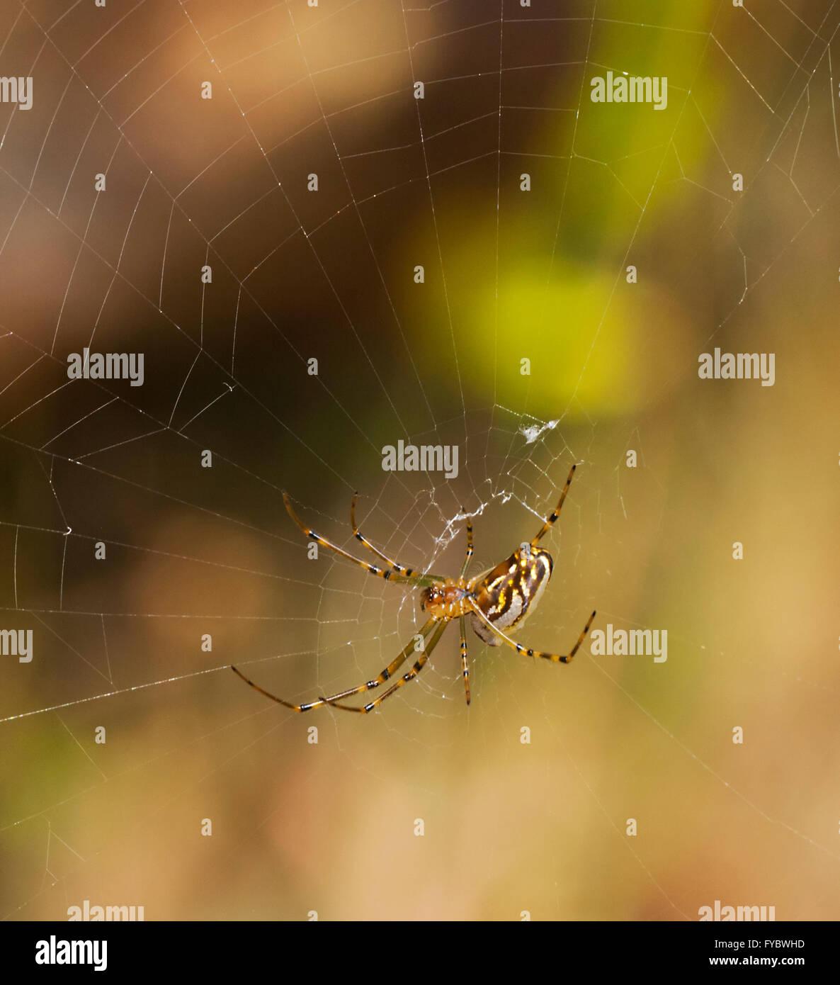 Silver Orb-spider (Leucauge granulata), New South Wales, Australia - Stock Image