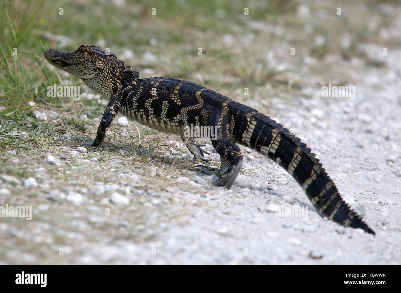 Young alligator crossing the trail path just in front of me!  twas approx 1.5m or 5ft long. April 2016 Stock Photo