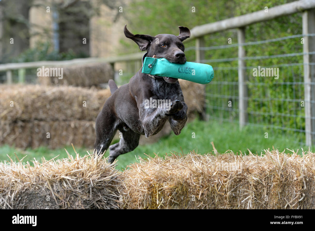 Pointer Dog jumping over straw bales having retrieved a green dummy in mouth  Scurry event  Ears flying - Stock Image