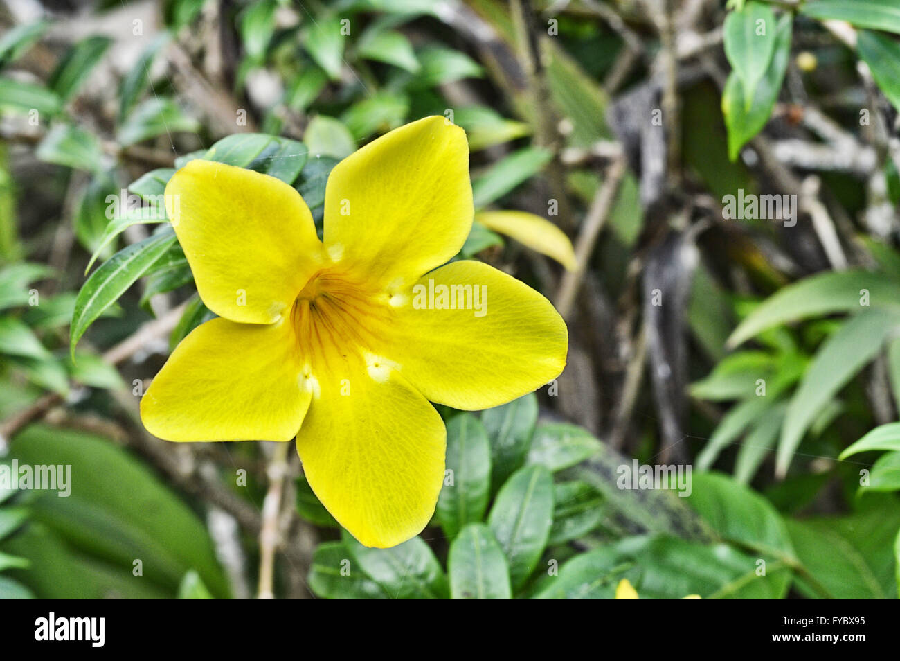 Yellow trumpet flower tree in nature stock photo 102909665 alamy yellow trumpet flower tree in nature mightylinksfo