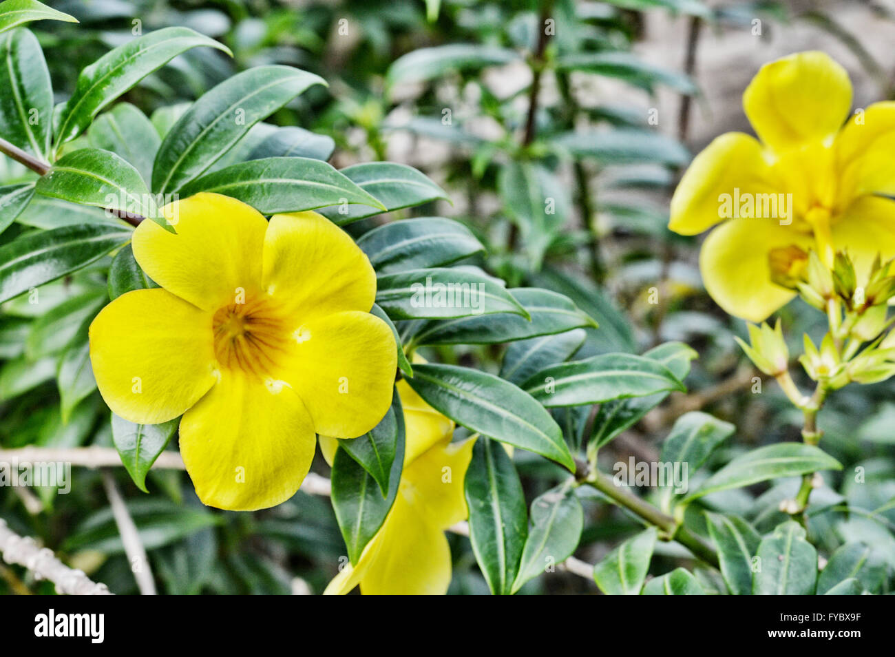 Yellow trumpet flower tree in nature stock photo 102909675 alamy yellow trumpet flower tree in nature mightylinksfo