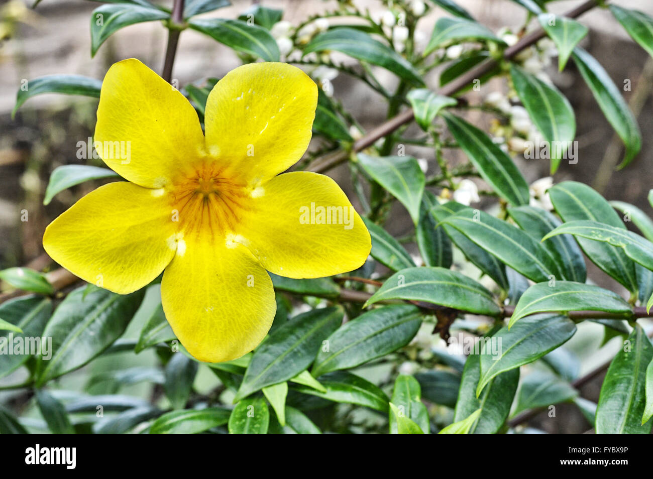 Yellow trumpet flower tree in nature stock photo 102909682 alamy yellow trumpet flower tree in nature mightylinksfo