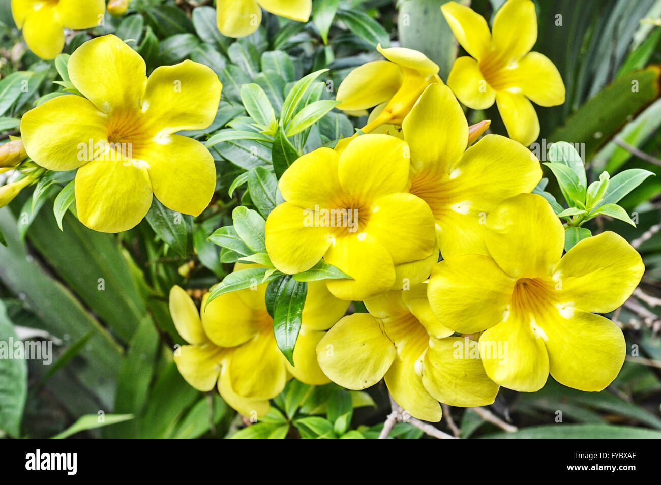 Yellow trumpet flower tree in nature stock photo 102909703 alamy yellow trumpet flower tree in nature mightylinksfo