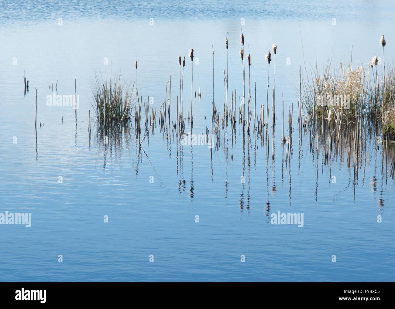 Bullrushes Reflections at Cors Caron Nature Reserve Stock Photo