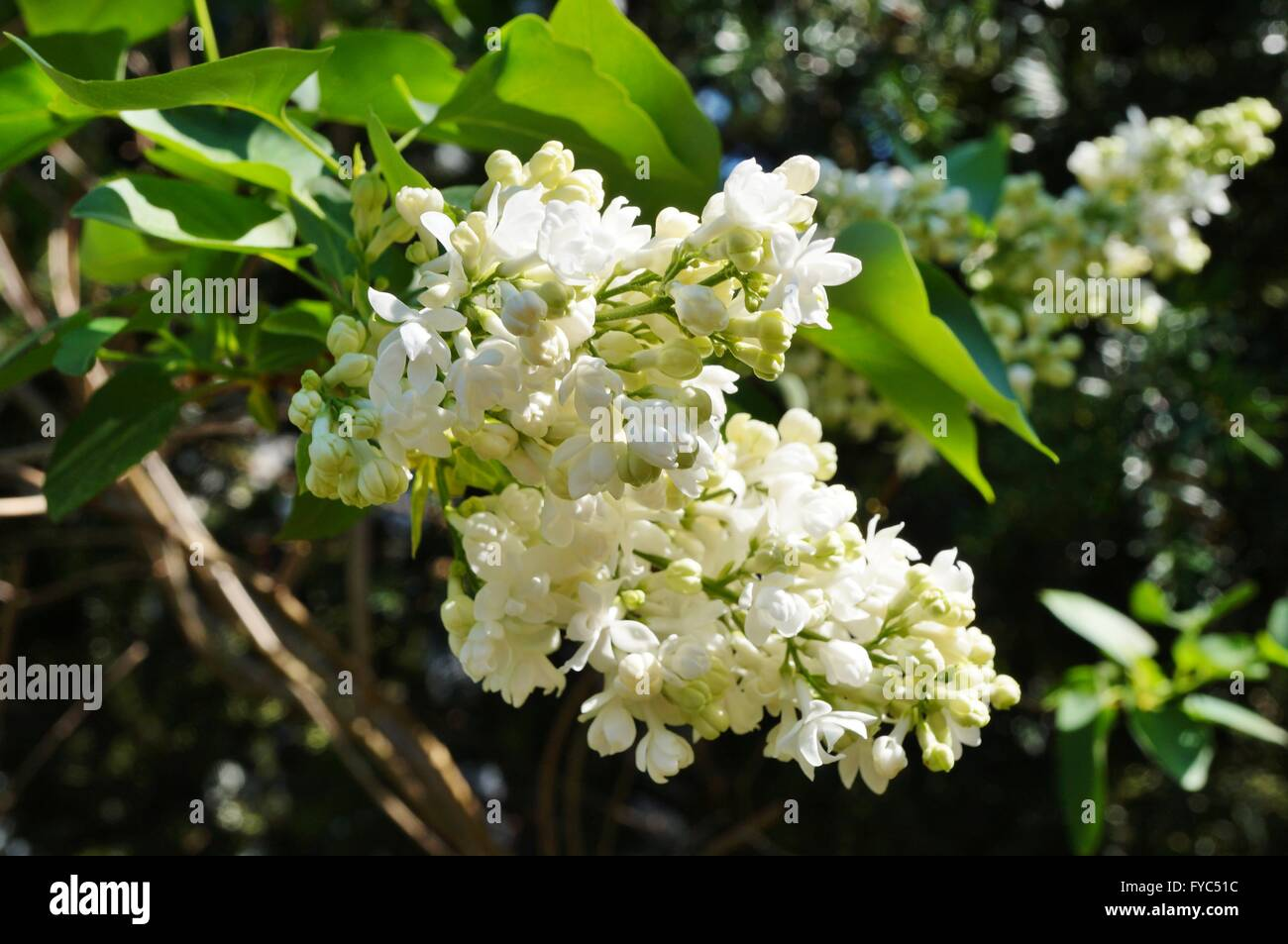 Fragrant white lilac flowers on the bush in the spring stock photo fragrant white lilac flowers on the bush in the spring mightylinksfo