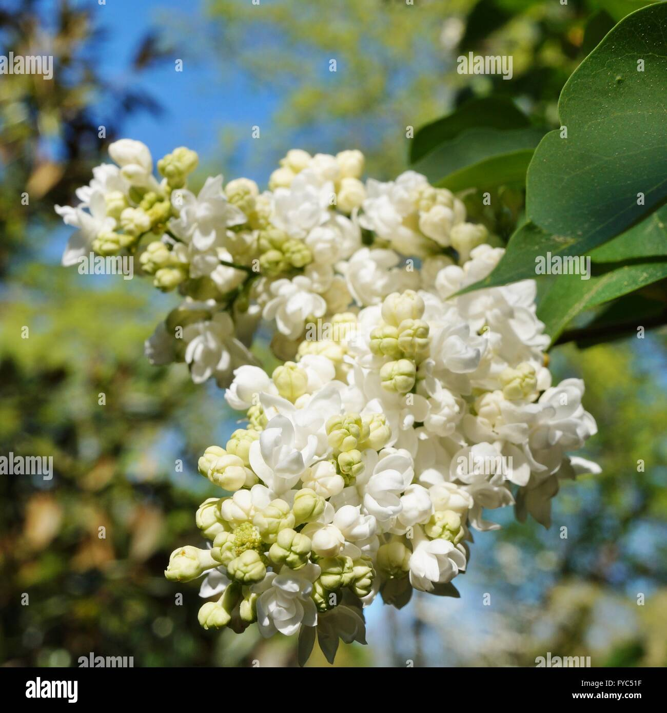 Fragrant White Lilac Flowers On The Bush In The Spring Stock Photo