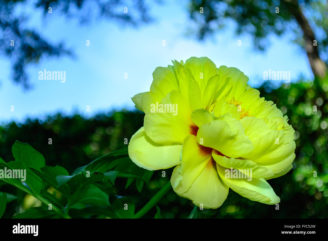 Bright Yellow Peony Flower Selective Focus Forward Blue Sky Stock