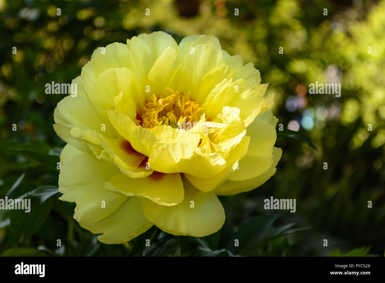 Closeup Beautiful Yellow Peony Flower Stock Photos Closeup