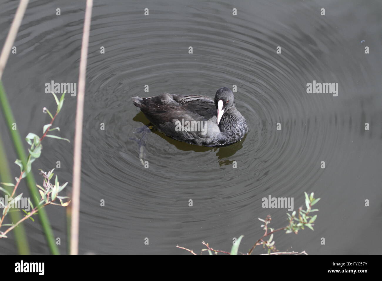 coot fulica atra swimming in the marshes in Colfiorito Umbria Italy folaga - Stock Image