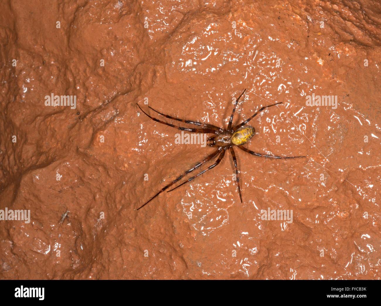 Cave Spider - Meta menardi - Stock Image