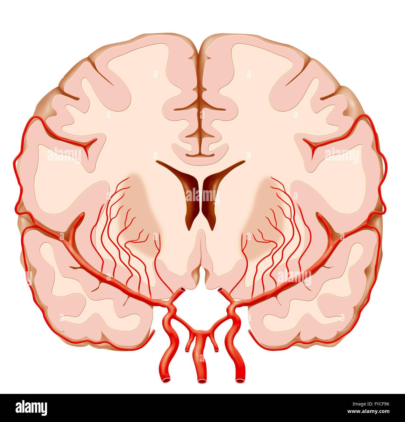 Middle Cerebral Artery Stock Photos & Middle Cerebral Artery Stock ...
