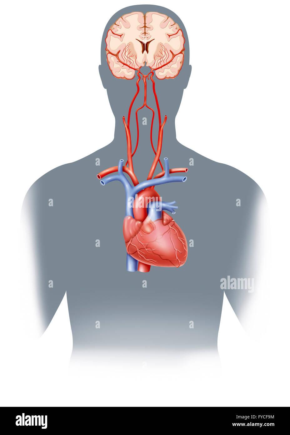 Basilar Artery Stock Photos & Basilar Artery Stock Images - Alamy