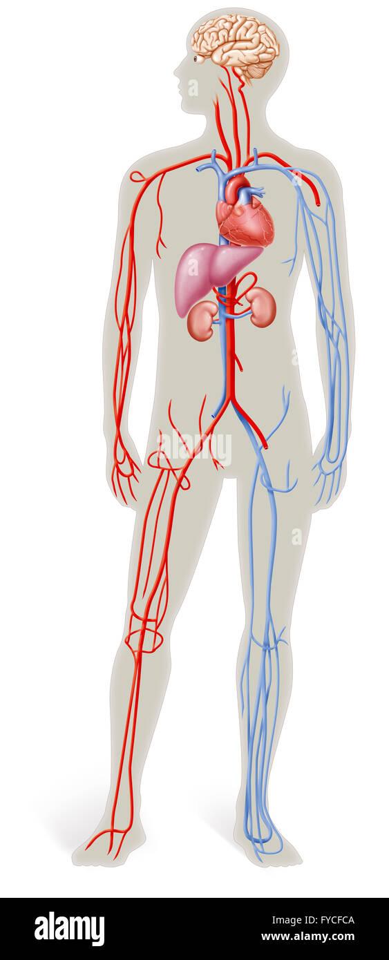 Cardiac Anatomy Stock Photos & Cardiac Anatomy Stock Images - Alamy
