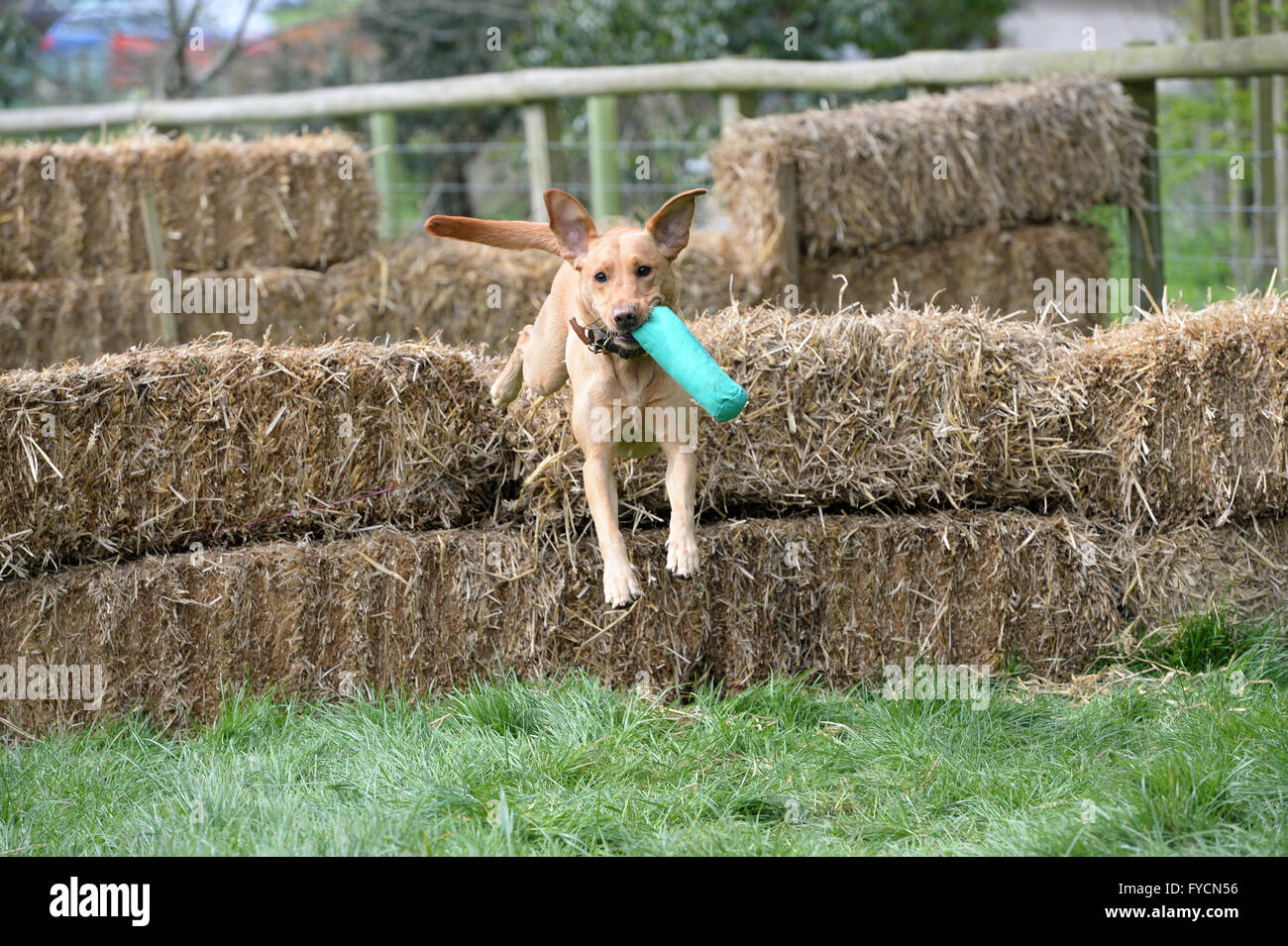 Dog leaping over straw bales in scurry event carrying green dummy yellow labrador cross type dog - Stock Image