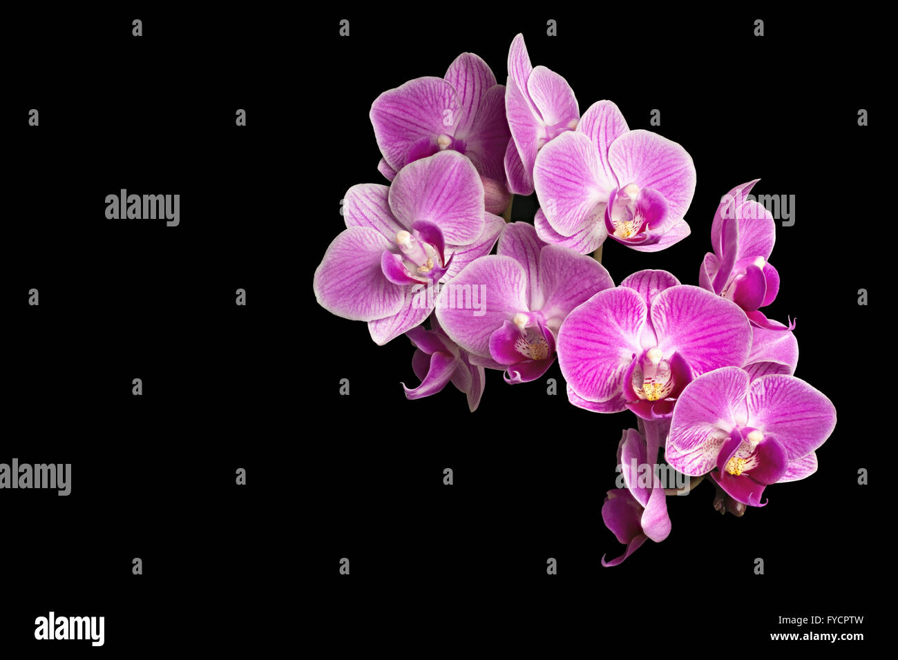 Focus Stacking Photo of Purple Orchids Isolated on Black Background - Stock Image