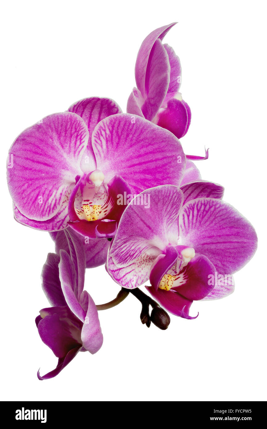 Focus Stacking Photo of Purple Orchids Isolated on White Background - Stock Image