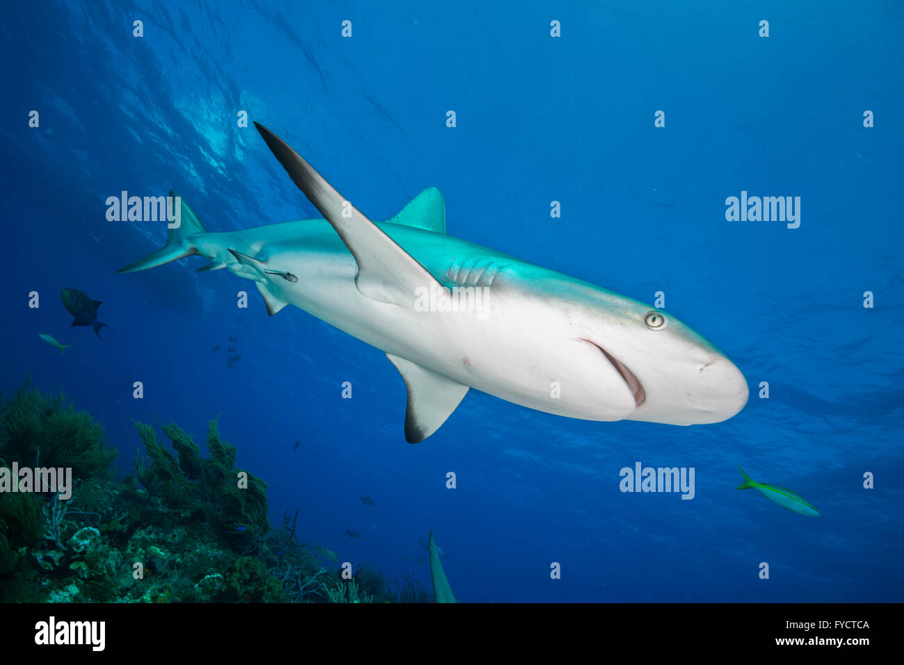 Caribbean reef shark, Carcharhinus perezi, swimming over coral reef, Bahamas Stock Photo