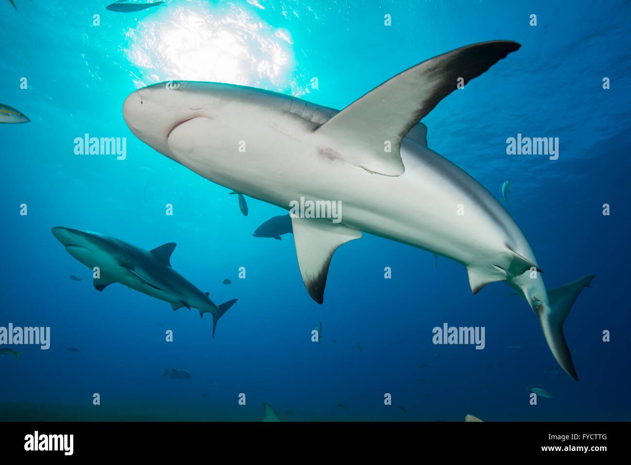 Caribbean reef shark, Carcharhinus perezi, swimming, Bahamas - Stock Image