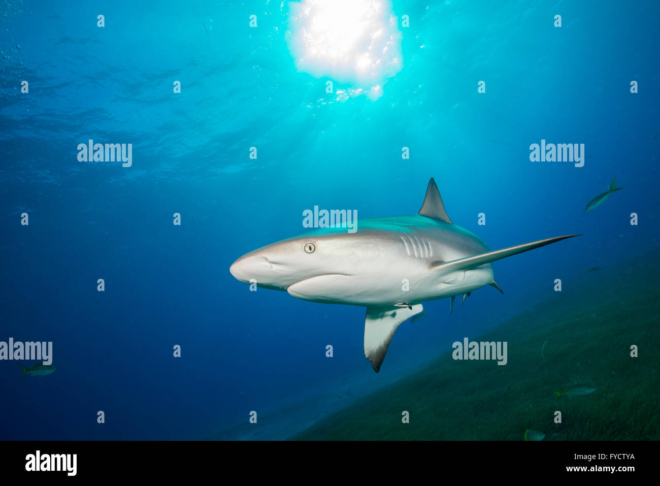 Caribbean reef shark, Carcharhinus perezi, swimming over seagrass, Bahamas - Stock Image