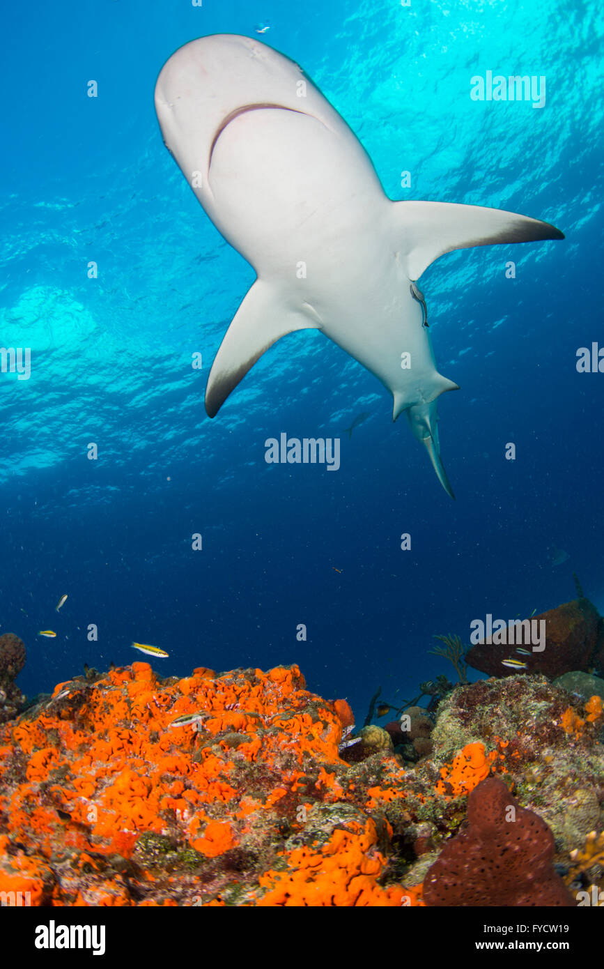 Caribbean reef shark, Carcharhinus perezi, swimming over coral reef, Bahamas - Stock Image