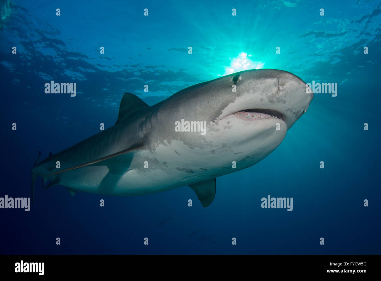 Tiger shark, Galeocerdo cuvier, swimming, Bahamas - Stock Image