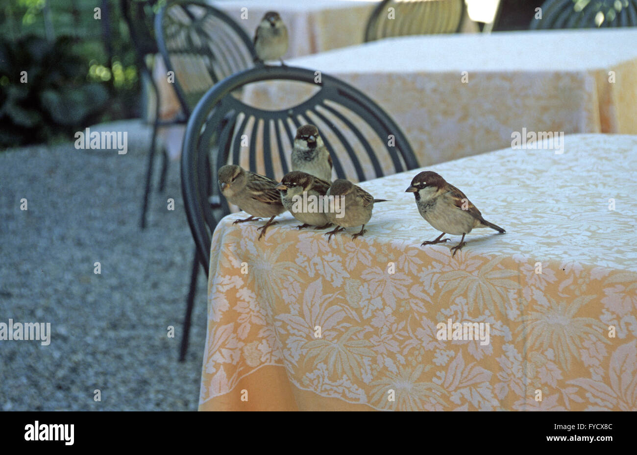 Sparrows on the table - Stock Image