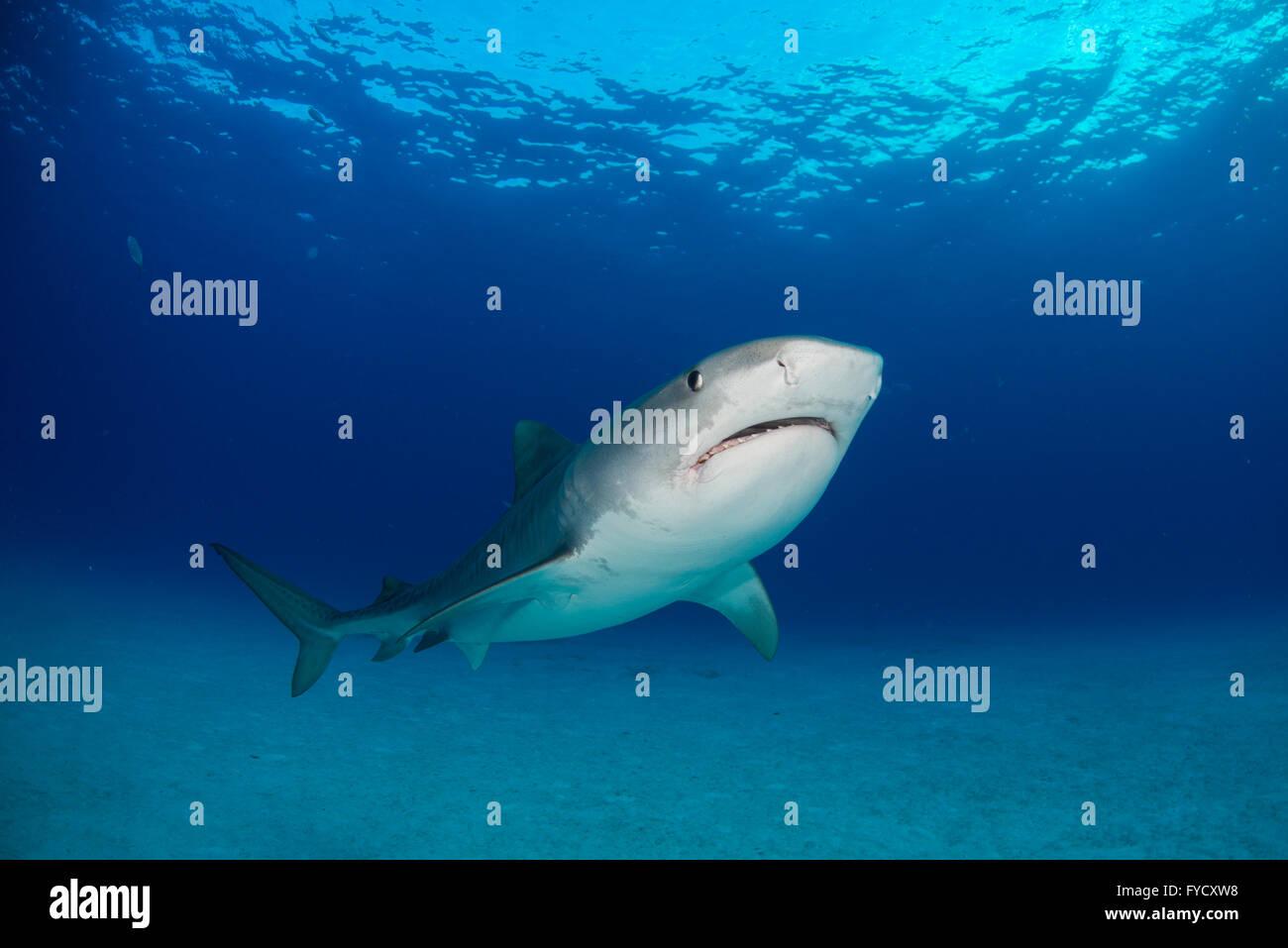 Tiger shark, Galeocerdo cuvier, underside, Bahamas - Stock Image
