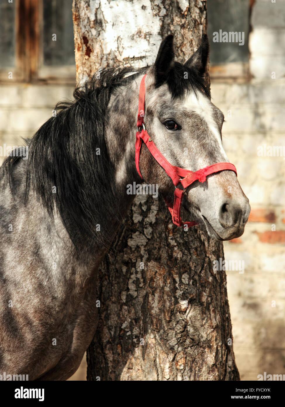 Dapple gray Lusitano horse colt in stud farm - Stock Image
