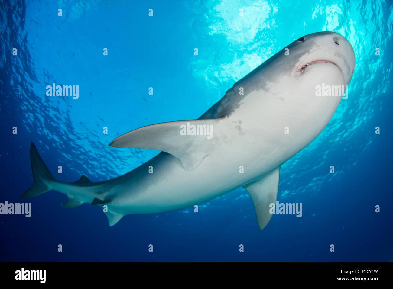 Tiger shark, Galeocerdo cuvier, underside, Bahamas Stock Photo