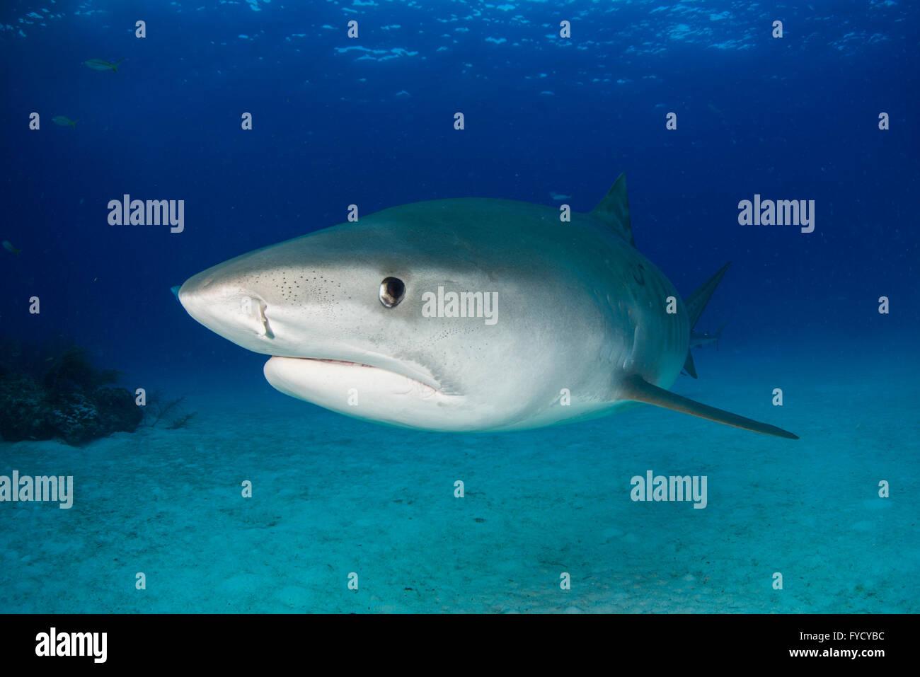 Tiger shark, Galeocerdo cuvier, Bahamas - Stock Image