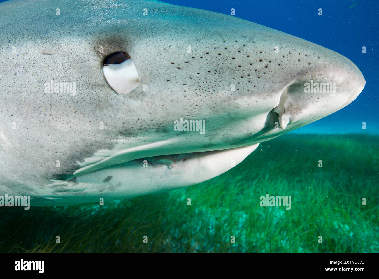 Tiger shark, Galeocerdo cuvier, side portrait, Bahamas - Stock Image